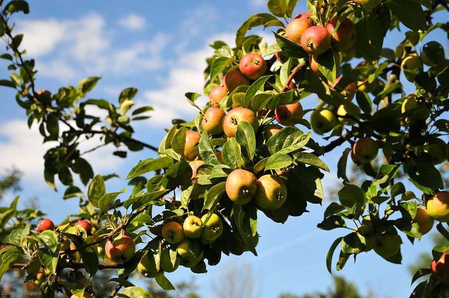Apples growing at Domaine Dupont in Calvados
